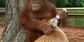 Orangutangu nuk e kupton se tre fëmijët e tij janë tigra (Video)