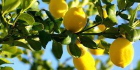 Vetitë dhe vlerat e limonit