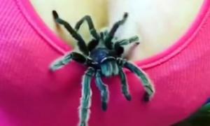 merimanga-dekolte