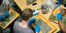 Një plantacion marihuane pranë Shtëpisë së Bardhë