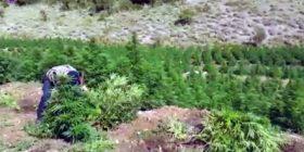 1.2 mln rrënjë hashash të asgjësuara, Qato: Është rritur kontrrolli mbi territorin (Video)