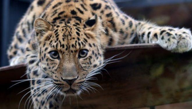 Të paktën 4 leopardë vriten çdo javë në Azi