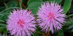 Vlerat magjike të lules 'Mos më prek'