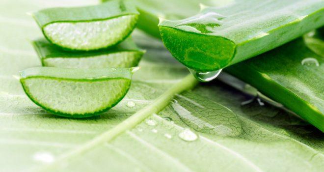 Pse Aloe vera quhet bima e pavdekësisë dhe si e rikuperon trupin tuaj?