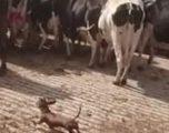 Qeni vogël ndihmon në grumbullimin e bagëtisë (Video)