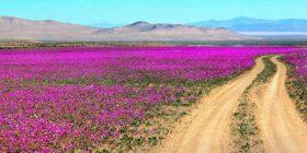 Në shkretëtirën më të thatë në botë kanë çelur lule