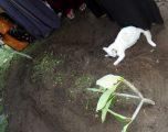 Macja misterioze me ngjyrë të bardhë shfaqet nga askund, dhe refuzon të largohet nga varri i një burri (Video)