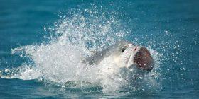 """Moment i rrallë: Filmohet peshku duke kërcyer dy metra mbi ujë për ta """"gëlltitur"""" një zog (Foto)"""