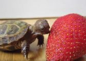 Breshka këmbëngulëse të hajë luleshtrydhen, më të madhe se trupi saj (Video)