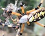 Bretkosa mbështillet me shpejtësi nga rrjeta e merimangës (Video)