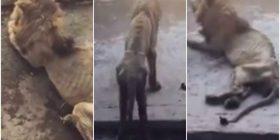 Luani që po vdes urie në kopshtin zoologjik, është fshehur nga menaxhmenti për shkak të disa pamjeve që po qarkullojnë në internet (Video)