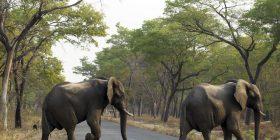 Trump pezullon vendimin për importimin e pjesëve të elefantëvë