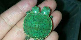 Breshka e shpejtë me dy koka (Video)