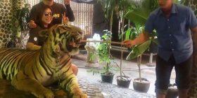 E tmerrshme: Punëtori i kopshtit zoologjik godet me shkop tigrin, ne qëllim që vizitorët të fotografohen me të (Video)