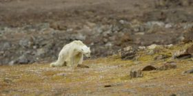 Çastet e fundit të jetës së ariut polar, i uritur në një hapësirë pa akull (Video)