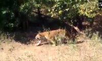 Tigri shfaqet në dasmë, dasmorët ikin të tmerruar (Video)