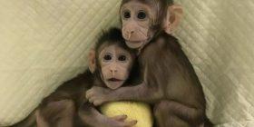 Njihuni me majmunët e parë në botë të klonuar (Foto/Video)