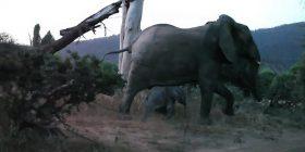 Mbreti i xhunglës? Luani sulmon tinëzisht të voglin e elefantit, zmbrapset kur para syve i shfaqet nëna e tij (Video)