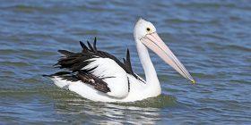 Edhe pse i është ngulur thika gjigante në krah, pelikani ecë pa kurrfarë problemi (Video)