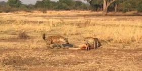 """Leopardi e kap dhe e rrëzon antilopën, por nuk mundi ta """"shijonte"""" – detyrohet të largohet nga një hienë (Video)"""