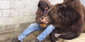 Pamjet që po bëjnë xhiron e botës: Kujdestari i strehimores së kafshëve, ledhaton ariun 650 kilogramësh (Video)