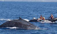 Momenti kur ekipi i shpëtimtarëve këpusin litarin dhe rrjetën, në të cilën kishte ngecur balena (Video)