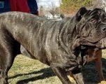Njihuni me qenin më të madh në botë, peshon 80 kilogramë dhe ka trupin dy metra (Foto/Video)