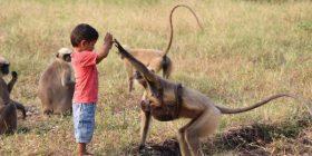 Bëhet shok me grupin e majmunëve, konsiderohet si rimishërim i një zoti indian (Foto)
