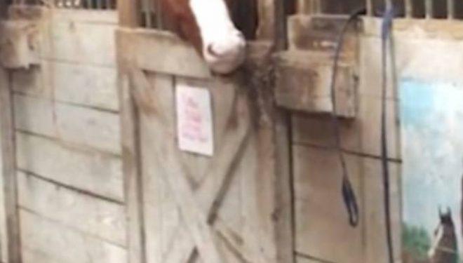 Gjithmonë e gjenin duke shëtitur, zbulohet mënyra se si kali ikte prej stallës (Video)
