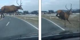 Shoferi i veturës habitet, para syve të tij dreri kapërcen dy korsitë (Video)