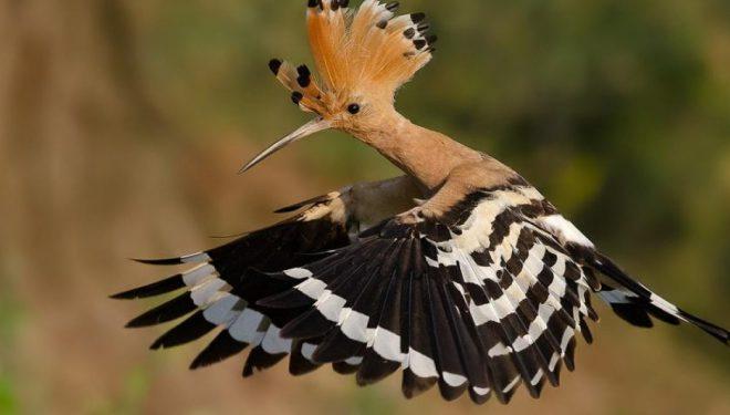 """Zogu i rrallë afrikan, """"Pupëza"""", shihet në Kamenicë – Kuriozitete interesante që ndoshta nuk i keni ditur për të (Foto/Video)"""