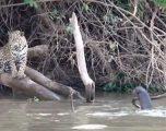 Jaguarët e fuqishëm u përzunë prej territorit të tyre nga një grup vidrash (Video)