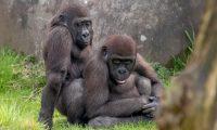 Majmunët e vegjël në skena eksplicite, pasi panë të rriturit teksa çiftoheshin (Foto)