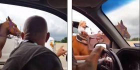 Kali ikë nga ferma e pronarit dhe përfundon në autostradën e mbushur me vetura duke vrapuar, e shpëton shoferja dhe policia (Video)