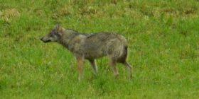 """Një ujk fotografohet """"para derës së shtëpisë"""" – në një zonë të banuar të Cyrihut (Foto)"""