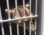 Shpëtohen arinjtë që për vite të tëra kishin qëndruar të mbyllur në kafaze, pa parë diellin me sy (Video)