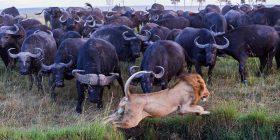 """Tufa e buajve i vërsulen luanit të vetmuar, kërkonin hakmarrje për """"shokun"""" që ua kishte mbytur (Foto)"""