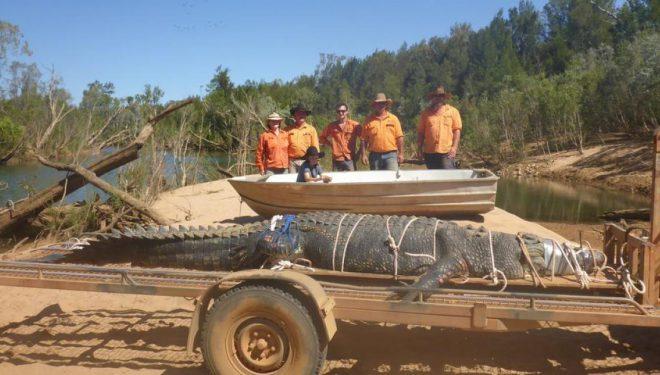 Kapet në Australi krokodili 4.7 metra që peshon 600 kilogramë – besohet se është mbi 60 vjet i vjetër (Foto/Video)