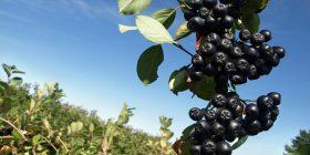 Aronia- pema më e shëndetshme në botë: Mbron zemrën, ul rrezikun nga kanceri, pengon diabetin, kataraktin, ruan rininë…
