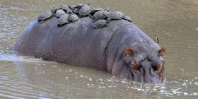 Breshkat e shfrytëzuan shpinën e hipopotamit, si një pushimore në mes të liqenit (Foto)