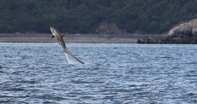 Del mbi sipërfaqe një peshkaqen me bisht ekstra të gjatë, shumë pranë grupit të turistëve (Foto)