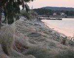 Ndodh edhe kjo, rrjeta 300 metra e gjatë e merimangave mbulon zonën e gjelbëruar të bregut perëndimor në Greqi (Foto/Video)