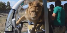 """Çfarë sikleti! Luani """"kacavirret"""" në veturën e mbushur me turistë, shihni reagimin e tyre (Video)"""