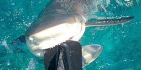 Peshkaqeni kafshoi motorin e barkës, refuzoi të largohej për një kohë të gjatë (Video)