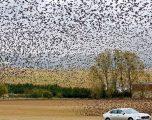 """E rrallë, qindra mijëra zogj """"pushtojnë"""" qiellin në Francë (Foto)"""