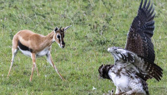 Gazela përpiqej ta shpëtonte të voglin nga kthetrat e shqiponjës, shpeza grabitqare ishte shumë më e fuqishme (Foto)