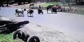 """Ndodh edhe kjo, lopa në stilin """"Kung Fu"""" nokauton motoçiklisten në Paraguai (Vide0)"""