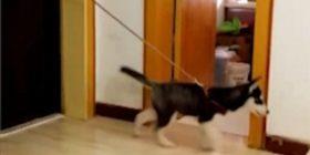 Dyshemenë e rrëshqitshme, qeni e shfrytëzoi si shiritin lëvizës (Video)