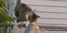 Gjente vazhdimisht gazeta në oborr, u befasua kur kuptoi se macja saj i vidhte prej fqinjëve (Video)