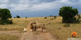 Luanesha iu kundërvu luanit, që e zgjoi në mënyrën më të vrazhdë të mundshme (Video)